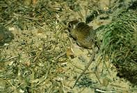 Pygmy Gerbil Gerbillus henleyi captive
