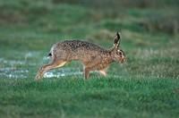 European Hare Lepus europaeus adult, running across wet pasture, Elmley Marshes N N R, Kent, England