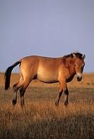 Przewalski´s Horse Equus przewalskii adult, walking on grass, captive