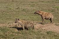 Spotted Hyena, Tanzania, Crocuta crocuta, Africa Den, lair, hole,burrow,