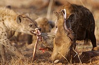 Spotted Hyena Crocuta crocuta adults, feeding on giraffe carcass, Kruger N P , South Africa
