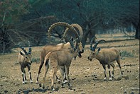 Ibex Nubian Capra nubiana Four standing on stoney ground