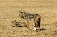 Side_striped Jackal Canis adustus two adults, standing and sleeping, South Luangwa N P , Zambia