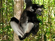 Indri Indri indri adult female, with baby clinging to back, Madagascar