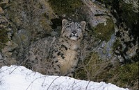 Snow Leopard Panthera uncia Standing in front of rocks _ snow in front