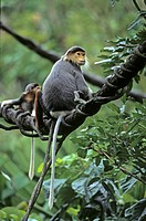 Red Shanked Douc Langur Pygathrix nemaeus nemaeus In tree _ captive