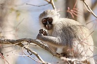 Vervet Monkey Chlorocebus aethiops adult, feeding on tree flowers, Kruger N P , South Africa