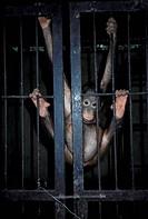 Orang_utan Pongo pygmaeus Borneo juv in cage