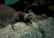 Short_clawed Otter Amblonyx cinerea On top of rock _ looking across S
