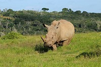 White Rhinoceros Ceratotherium simum adult, standing in habitat, Eastern Cape, South Africa