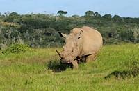 White Rhinoceros Ceratotherium simum adult, standing in habitat, Eastern Cape, South Africa