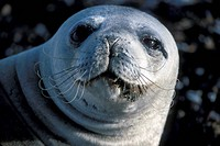 Seal _ Weddell Leptonychotes weddeli close_up of head