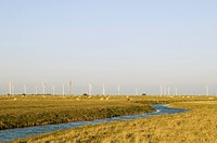 Domestic Sheep, flock grazing on banks of drainage ditch, distant wind turbines, Northpoint Sewer, Walland Marsh, East Sussex, England