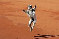 Verreaux´s Sifaka Propithecus verreauxi adult leaping, Berenty Game Reserve, Madagascar