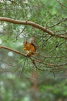 Squirrel _ Red Sciurus vulgaris Sitting on tree branches / feeding