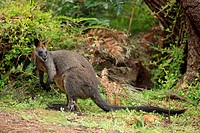 Swamp Wallaby Wallabia bicolor adult female, standing in vegetation, Wilson´s Promontory N P , Victoria, Australia