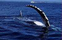 Humpback Whale Megaptera novaeangliae Pectoral Fin _ Australia