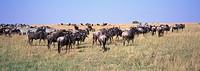 Wildebeest Connochaetes taurinus with Common Zebra Equus quagga migration herds_ Masai Mara