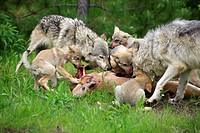 Timber Wolf Canis lupus two adults and four cubs, feeding on deer kill, Minnesota, U S A