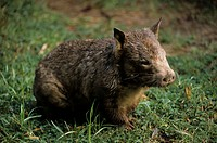 Wombat _ Hairy_nosed Southern Lasiorhinus latifrons Close_up / sitting on grass/Australia