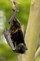 Comoro Black Flying Fox Pteropus livingstonii adult, captive