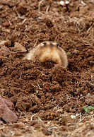Giant Mole_rat Tachyoryctes macrocephalus adult, digging, pushing soil out of excavation, Bale Mountains N P , Oromia, Ethiopia, april