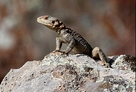 Caucasian Agama Laudakia caucasicus adult, sunning on rock, Armenia, may
