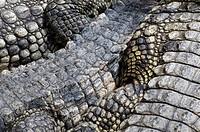American Alligator Alligator mississipiensis adults, basking, close_up of skin, captive