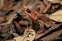 Asian Horned Frog Megophrys nasuta adult, camouflaged amongst leaf litter, Danum Valley, Sabah, Borneo, Malaysia