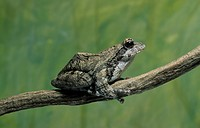 African Grey Treefrog Chiromantis xerampelina Sitting on branch _ NB Tolerates drought