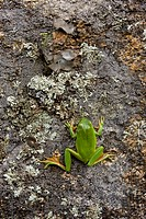Stripeless Treefrog Hyla meridionalis adult, on lichen covered rock, Extremadura, Spain