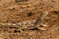 Ground Agama Agama aculeata adult, catching butterflies, Namib Desert, Namibia