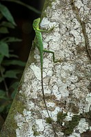 Green Tree Agama Bronchocela cristatella climbing tree trunk, Sukau River, Sabah, Borneo, Malaysia