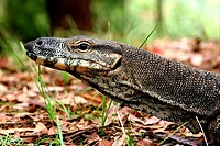 Lace Monitor Varanus varius Close_up of large adults head _ SE Queensland, Australia