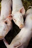 glückliche Jungschweine