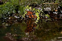 Oriental Fire_bellied Toad Bombina orientalis adult, at edge of water