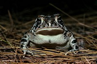 Fowler´s Toad Bufo woodhousei fowleri On pine needles _ viewed from front