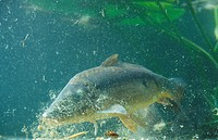 Mirror Carp Cyprinus carpio feeding on sweetcorn