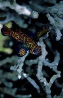 Mandarin Fish Shynchiropus splendidus Baracuda, Wakatobi, Sulawesi, Indonesia