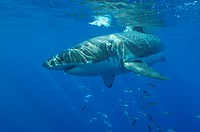 Great White Shark Carcharodon charcharias Dorsal fin breaking surface _ Guadalupe, Mexico