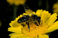Honey bee Apis mellifera Close_up _ on yellow flower S