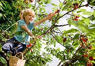 boy picking cherries on tree