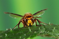 European Hornet Vespa crabro adult, resting on leaf, Oxfordshire, England