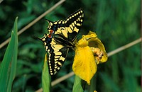 Swallowtail Papilio machaon On yellow flower / Norfolk