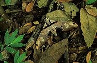 Moth _ Camouflaged in leaf litter on forest floor _ La Pacifica, Costa Rica
