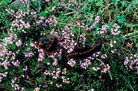 Fox Moth Macrothylacia rubi Caterpillars feeding on heather in grouse moor