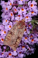 Square_spot Rustic Moth Xestia xanthographa adult, feeding on Buddleia Buddleja davidii flowers in garden at night, Powys, Wales