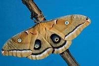 Oak Silkmoth Telea polyphemus Adult