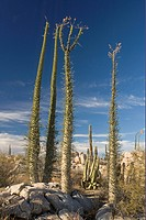 Boojum Tree Indyla columnaris habit, growing in desert habitat, Sonoran Desert, Baja California, Mexico