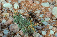 Sarcocaulon Sarcocaulon sp stems highly inflamable, Vioolsdrift, Richtersveld, South Africa